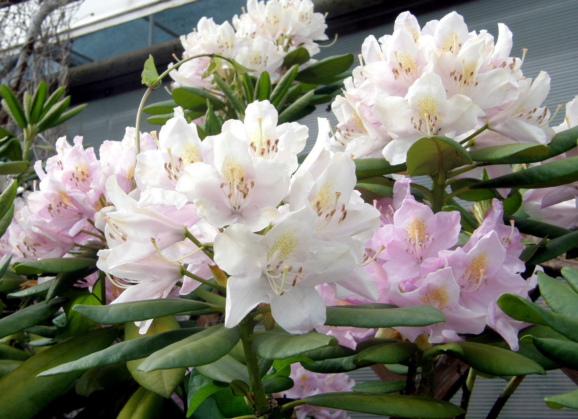 Rhododendron Dyr. Frankowski