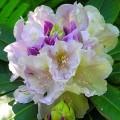 Rhododendron Album Novum