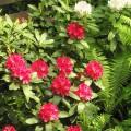 Rhododendron Nova Zembla