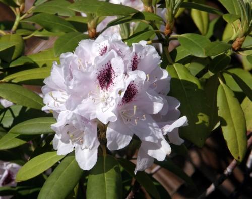 rhododendron rhododendron hybr calsap pflanzen. Black Bedroom Furniture Sets. Home Design Ideas