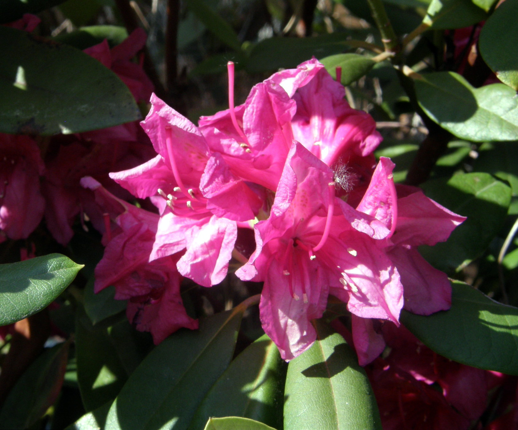 Rhododendron Dr H.C. Dresselhuys