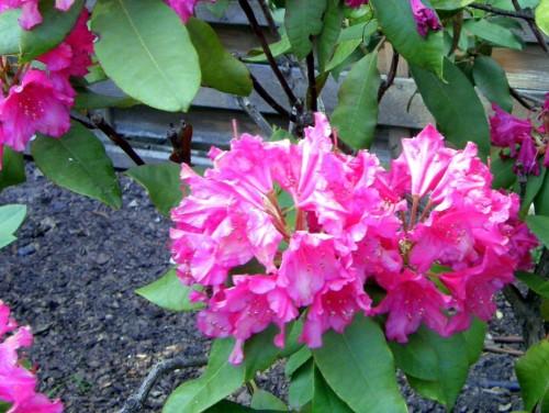 rhododendron rhododendron hybr dr v h rutgers. Black Bedroom Furniture Sets. Home Design Ideas