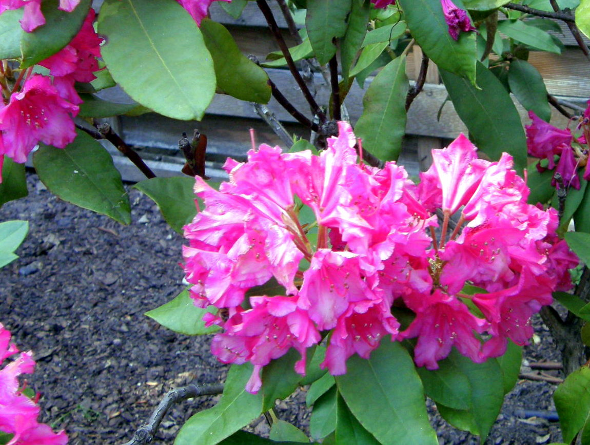 Rhododendron Dr V.H. Rutgers