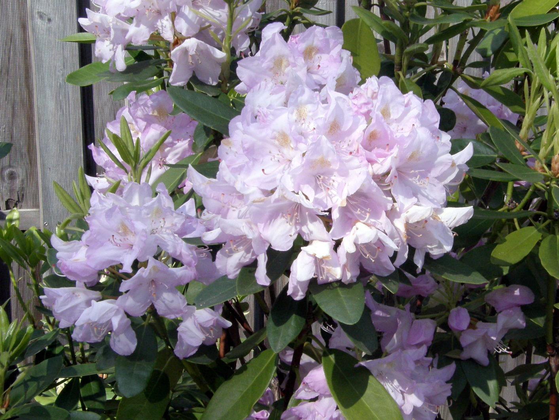 Rhododendron Effner