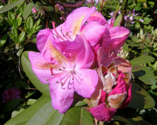 rhododendron rhododendron hybr moon of israel. Black Bedroom Furniture Sets. Home Design Ideas