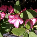 Rhododendron Prince Carneval
