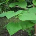 Gewöhnlicher Trompetenbaum