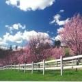 Kirschpflaume (Prunus cerasifera) Pissardii