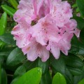 Rhododendron Helsinki University