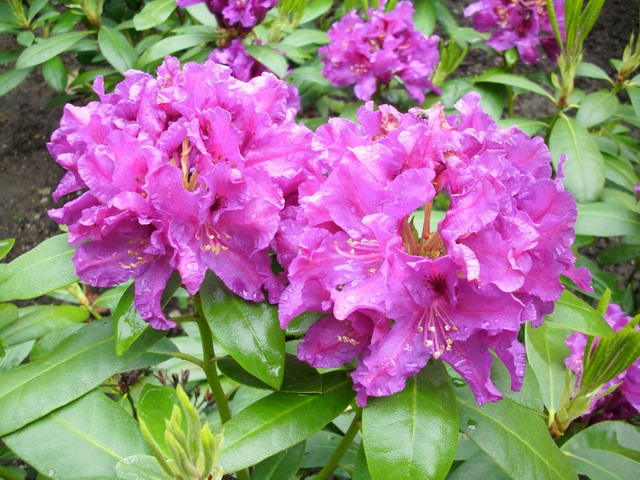 Rhododendron Rasputin