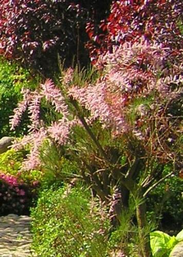 Tamariske Tamarix Tetrandra Pflanzen Enzyklopadie