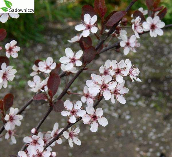 Zwergblutpflaume