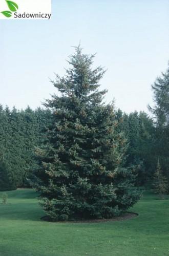 Gemeinsame Grüne Douglasie (Pseudotsuga menziesii)   Pflanzen Enzyklopädie #YK_64