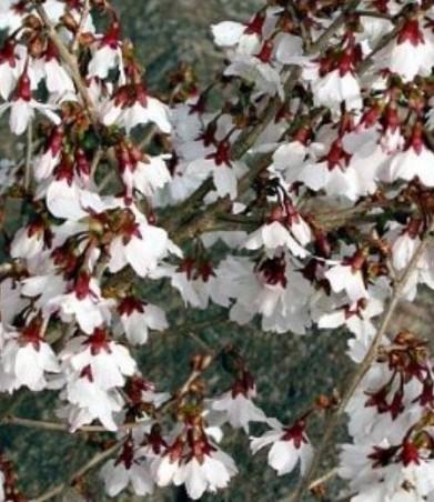 japanische zierkirsche umpflanzen