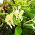 Japanisches Geißblatt Aureoreticulata