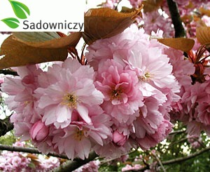 Japanische Blütenkirsche Kanzan