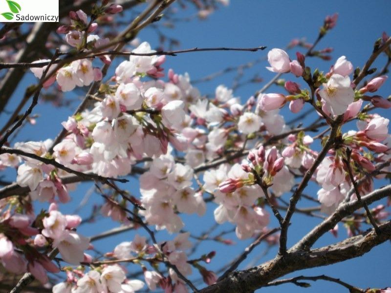 Japanische Blütenkirsche Royal Burgundy