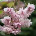 Japanische Blütenkirsche Kiku-shidare