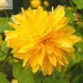 Ranunkelstrauch Pleniflora