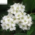 Japanischer Spierstrauch Albiflora