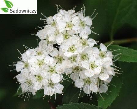 japanischer spierstrauch spiraea japonica 39 albiflora. Black Bedroom Furniture Sets. Home Design Ideas