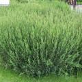 Purpur-Weide Gracilis