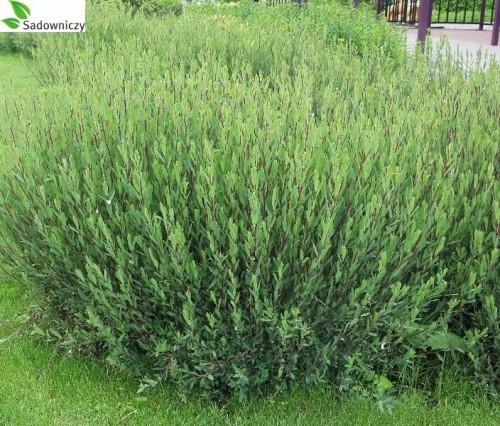 purpur weide salix purpurea gracilis 39 pflanzen enzyklop die. Black Bedroom Furniture Sets. Home Design Ideas