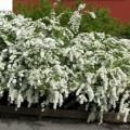 Weiße Rispenspiere Grefsheim