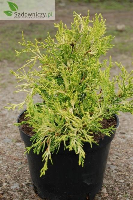 Sawara-Scheinzypresse Filifera Aurea
