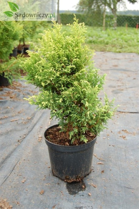 Sawara-Scheinzypresse Plumosa aurea