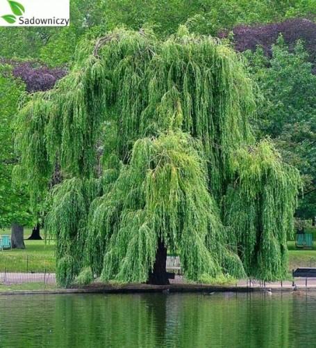 Silber Weide Salix Alba Tristis Pflanzen Enzyklopadie