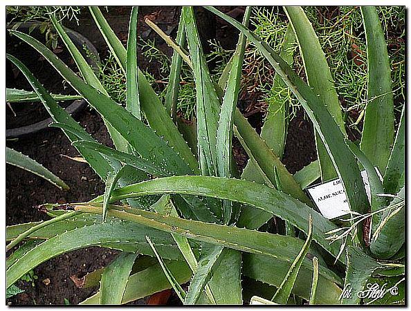 Sokotra-Aloe