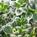 Kletter-Spindelstrauch Emerald Gaiety