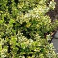 Kletter-Spindelstrauch Emerald'n Gold