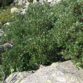Schweizer Weide