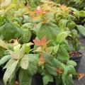 Japanischer Spierstrauch Macrophylla