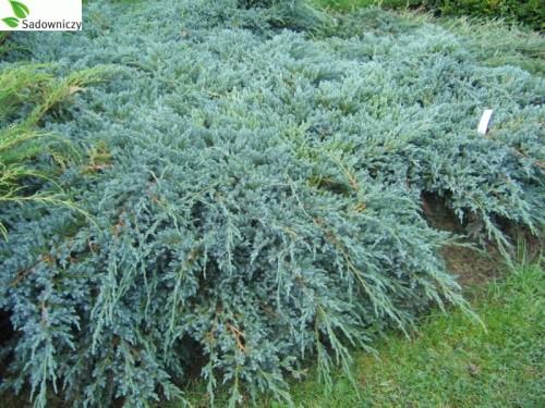beschuppter wacholder juniperus squamata blue carpet. Black Bedroom Furniture Sets. Home Design Ideas