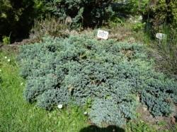 chinesischer wacholder juniperus chinensis monarch pflanzen enzyklop die. Black Bedroom Furniture Sets. Home Design Ideas