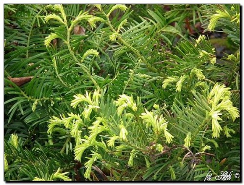 Japanische kopfeibe cephalotaxus harringtonia pflanzen enzyklop die - Japanische zimmerpflanzen ...
