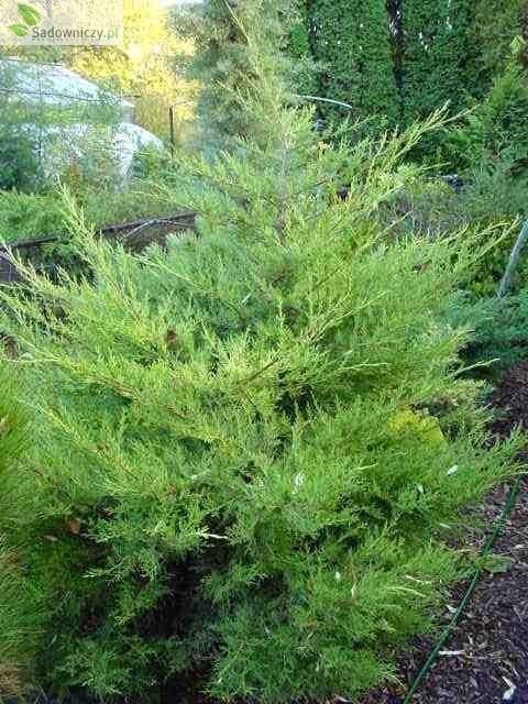 chinesischer wacholder juniperus chinensis kuriwao gold 39 pflanzen enzyklop die. Black Bedroom Furniture Sets. Home Design Ideas