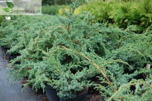 chinesischer wacholder juniperus chinensis blue alps. Black Bedroom Furniture Sets. Home Design Ideas