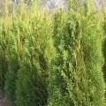 Abendländischer Lebensbaum Smaragd