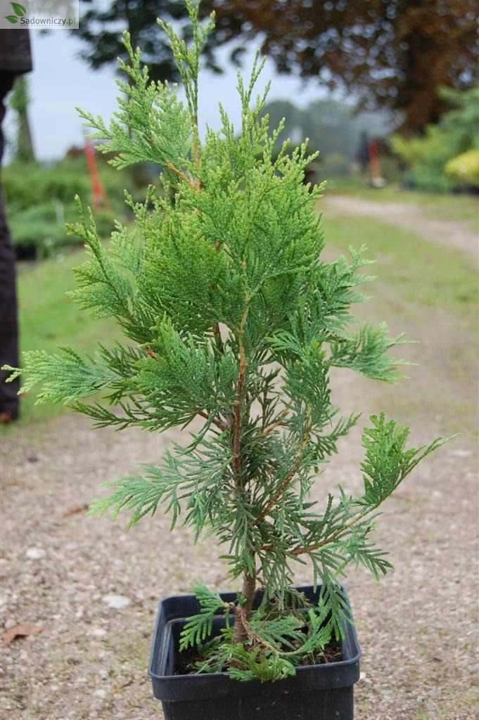 Riesen-Lebensbaum Kórnik 1