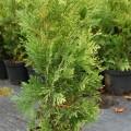 Riesen-Lebensbaum Kórnik 2