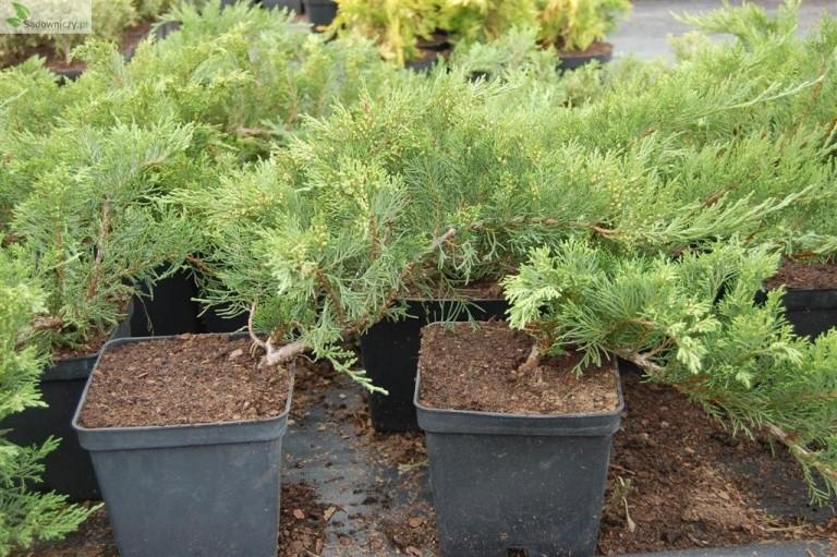 Sadebaum Tamariscifolia