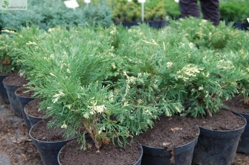 sadebaum juniperus sabina variegata 39 pflanzen enzyklop die. Black Bedroom Furniture Sets. Home Design Ideas