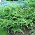 Sibirischer Zwerg-Lebensbaum