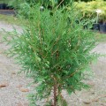 Abendländischer Lebensbaum Woodwardii