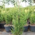 Abendländischer Lebensbaum Aurospicata