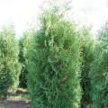 Abendländischer Lebensbaum Brabant